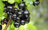 Por qué añadir la grosella negra a tu dieta